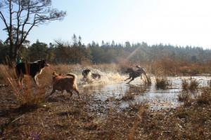 Waterpret (foto van D. van den Boomen)